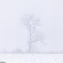 Tree in Snow, Nieuwkerksche Kreek, Groede, Zeeland, The Netherlands