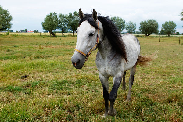 Paarden leasen Zeeland, Duke, Andalusier