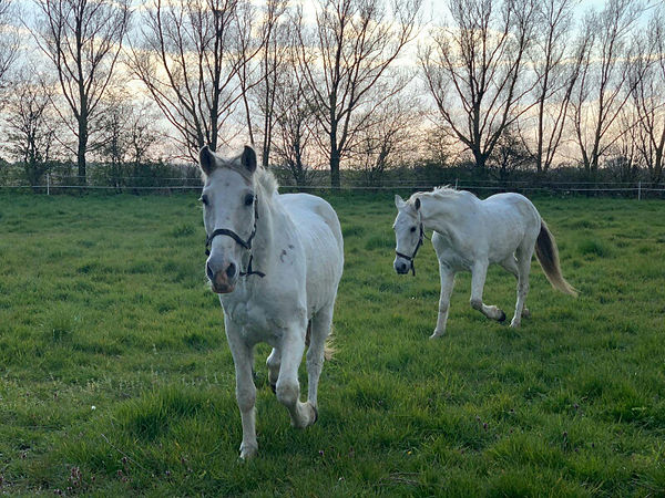 Paarden leasen, Zeeland, Sargento.jpg