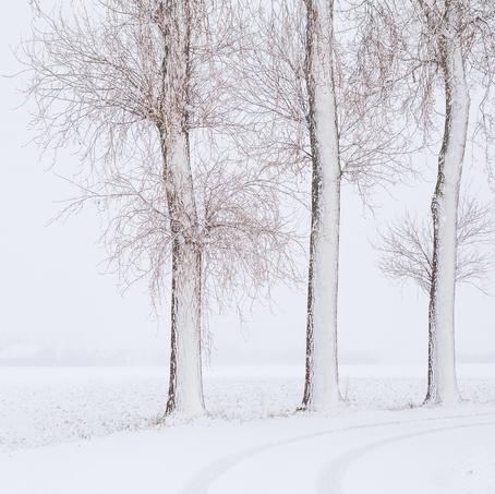Trees in Snow, Zeeuws-Vlaanderen, The Netherlands