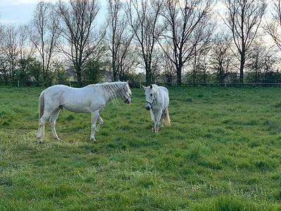 Sargento, paarden leasen, Zeeland.jpg
