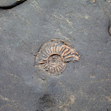 Ammonite, Stonebarrow Cliffs, Jurassic Coast, England