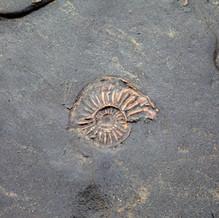 Ammonite, Stonebarrow Cliffs, Jurassic Coast, England