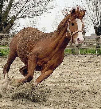 Ellie, paard te koop