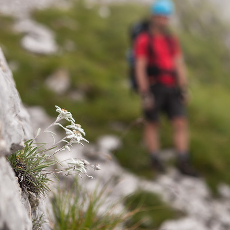 Edelweiss, Path of the Monk, Bellunese Dolomites, Italy