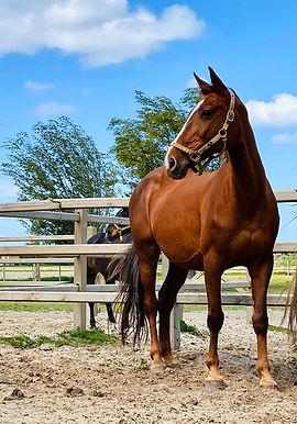 Alani, mooi paard te koop, stal Het Zoete Peerd