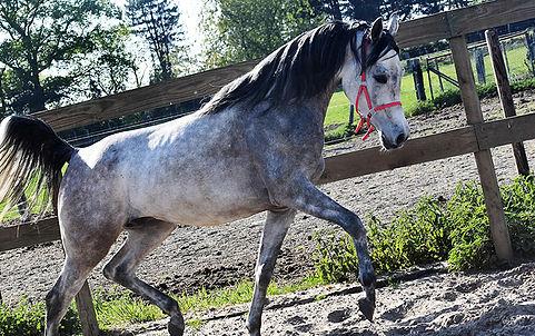 Endeavor, paarden leasen