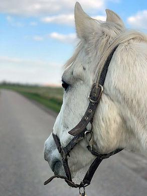 Paarden leasen, Sargento.jpg