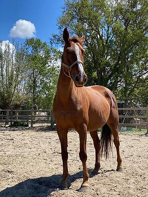 Alani, paarden te koop, stal Het Zoete Peerd