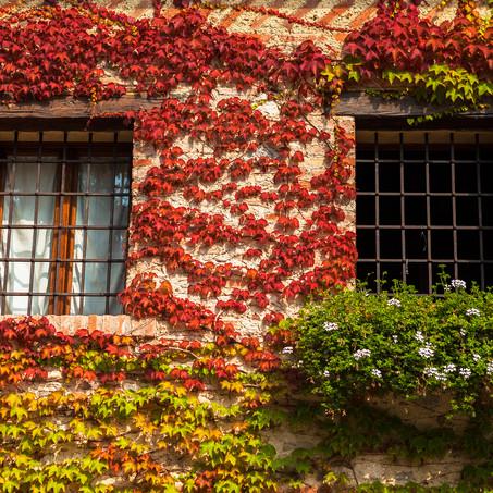 Autumn Ivy, Bassano, Dolomites, Italy