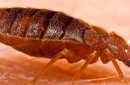 Zwalczanie owada pluskwy w trybie online!