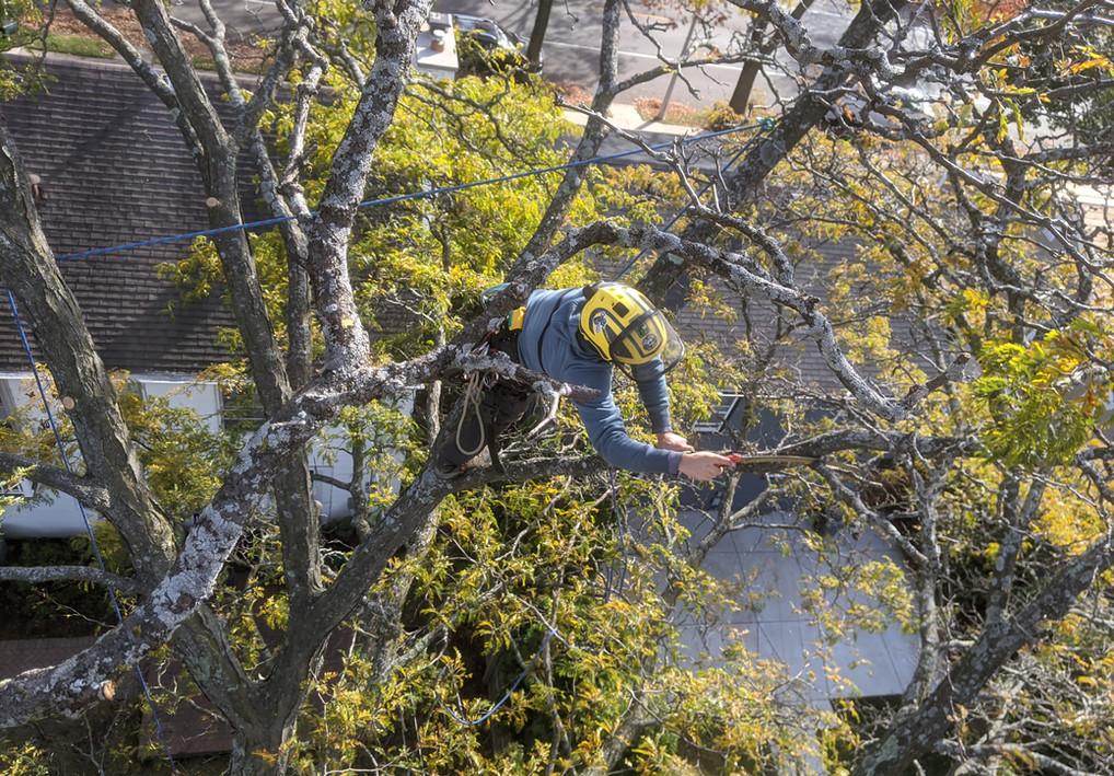 Locust Pruning