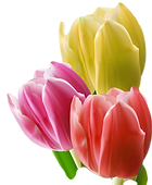 tulips-background-vector-976548_edited.p