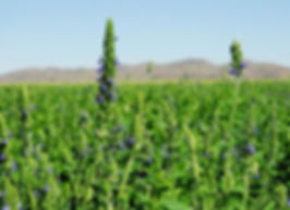Все о семенах чиа: родина семян Чиа