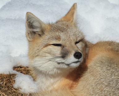 SWIFT FOX 1