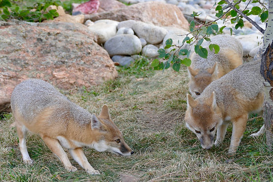 swift fox pack.jpg