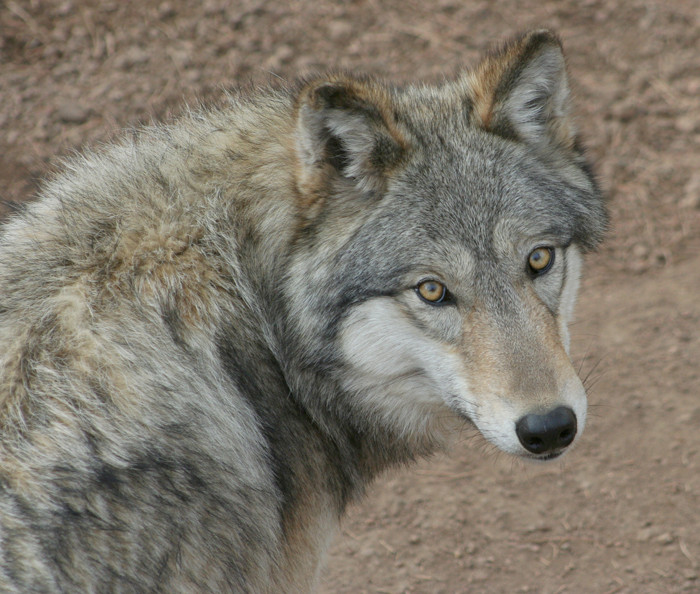 Colorado Wolf and Wildlife Center | HOME