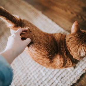 Warum schnurrt eine Katze?