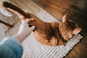 Women's hand petting the back of tan cat