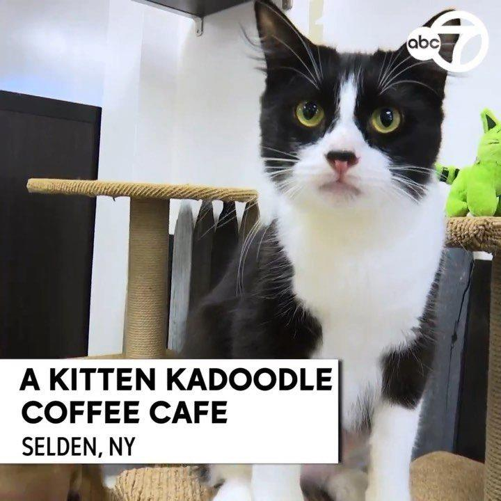 • 🚨 Feel good story alert 🚨   . .  . This Long Island cat cafe will have you embracing your inner cattitude & will leave you wanting to stay furrever 🐱😻🐱😻  . . .  #Linkinbio to full story 🎥  . . .  #abc7ny #communityjournalist #longisland #selden #su