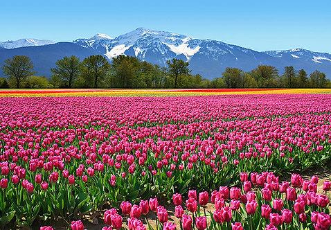 137 Tulips