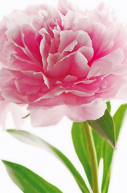 651 Pink Peony