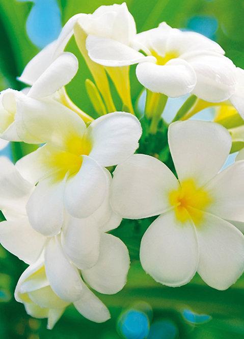 377 Frangipani Blossoms