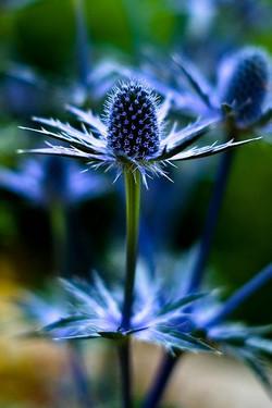blue thistle