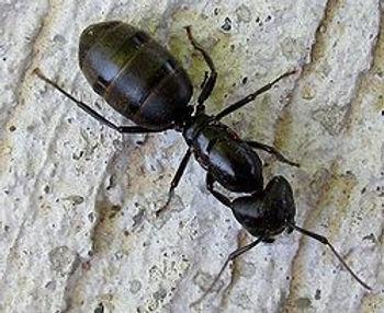 Carpener Ant.1.jpg