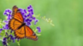 Viceroy butterfly (Limenitis archippus)_