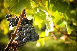 Bordeaux-Grapes