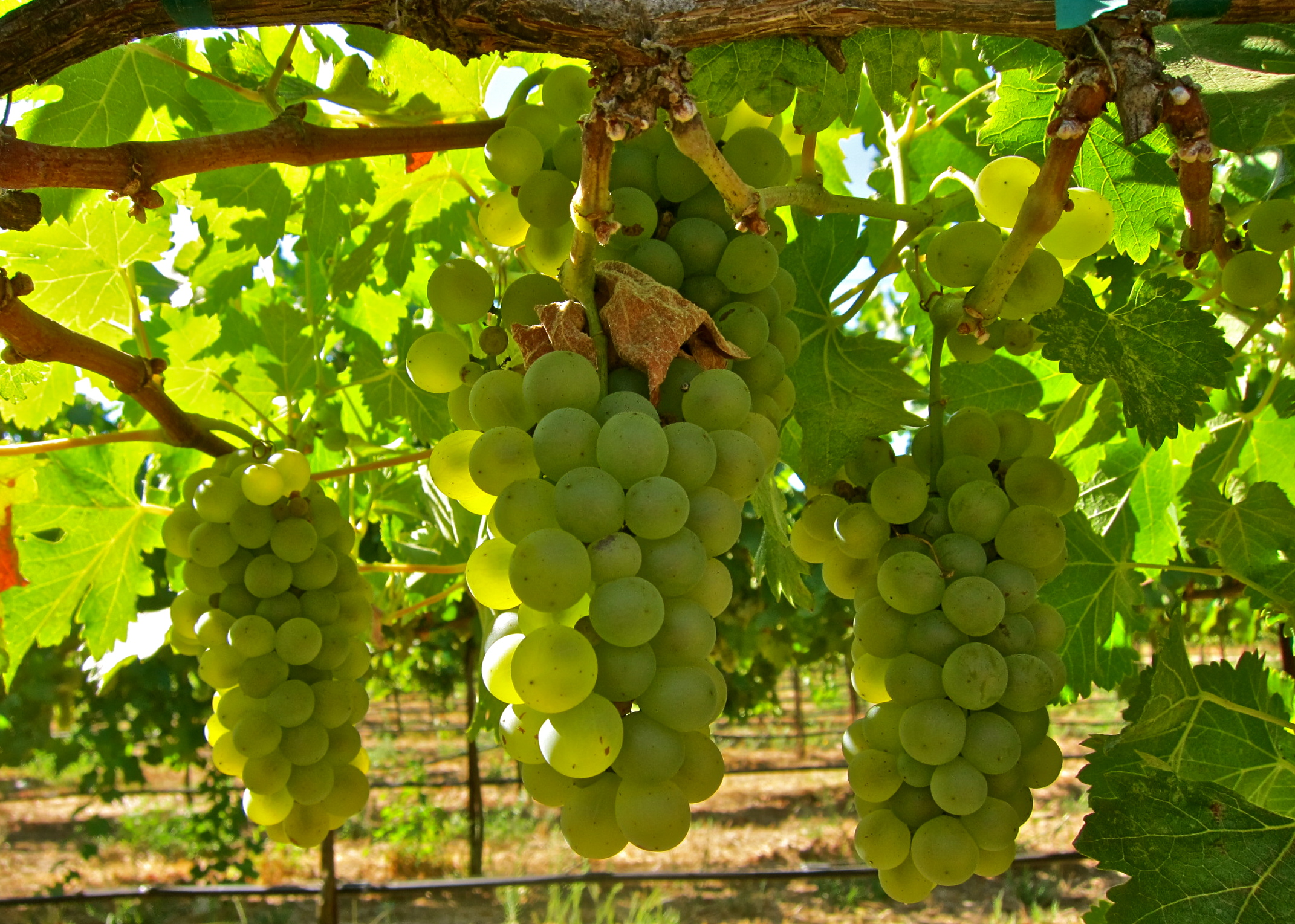 2014 Chardonnay grapes