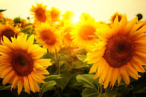 field of sunflowers and sun .jpg