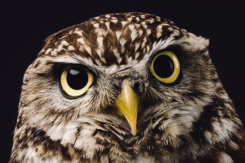 Pet Photography of birds of prey, Little Owl, Fine art print