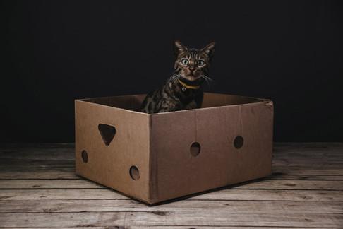 Bengal Cat in Box
