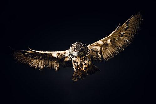 Pet Photography of birds of prey, Eagle Owl in flight, Fine art print