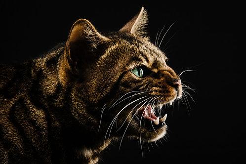 Pet Photography In The Studio Of A Wild Bengal Cat, Fine Art Print