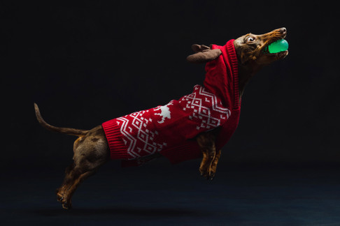 Christmas Dachshund Playing