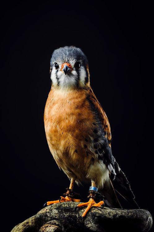 Pet Photography of birds of prey, American Kestrel, Fine art print