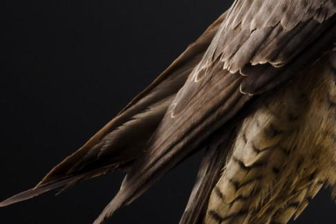 Peregrine Flacon Feathers