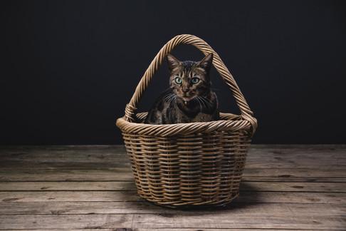 Bengal Cat in Basket