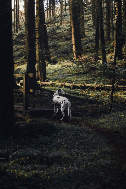Dalmatian Grizedale Forest