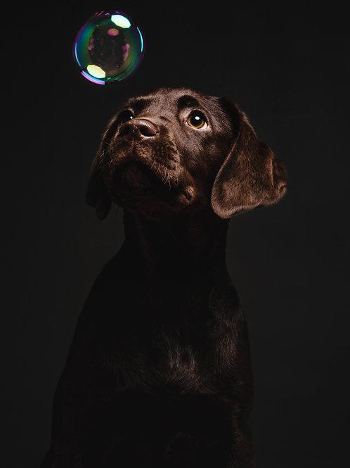 Pet Photography In The Studio Studio Of A Chocolate Labrador Puppy, Bubbles, Fine Art Print