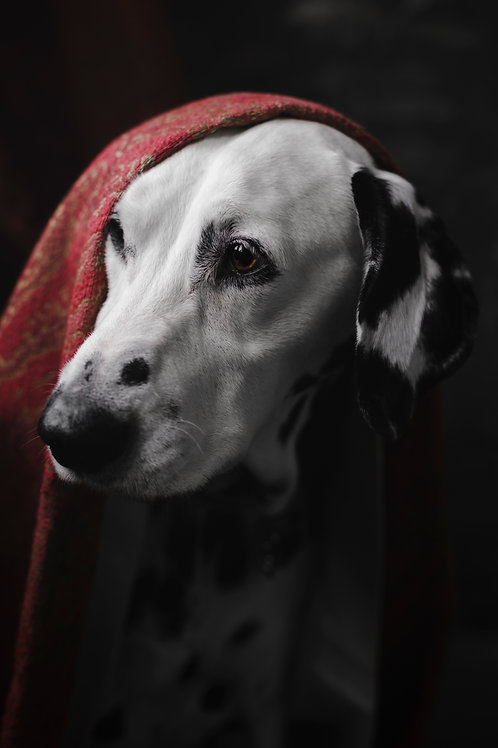 Pet Photography Of A Dalmatian, Fine Art Print