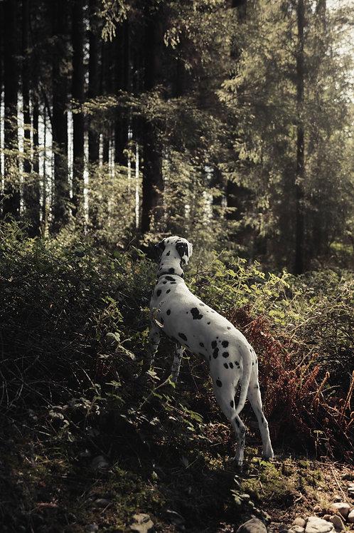 Pet Photography In The Lake District, Cumbria, Dalmatian, Woodlands, Fine Art Print