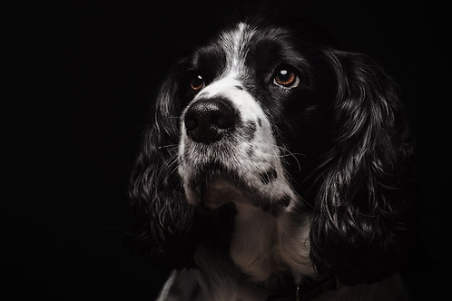 Pet Photography In The Studio Of A Springer Spaniel, Fine Art Print