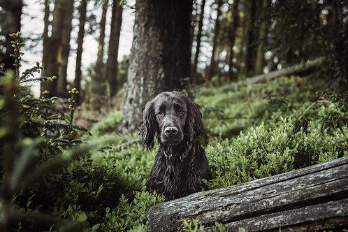 Pet Photography In The Lake District, Cumbria, Black Cocker Spaniel, Fine Art Print