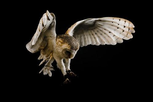 Pet Photography of birds of prey, Barn Owl in flight, Angel, Fine art print