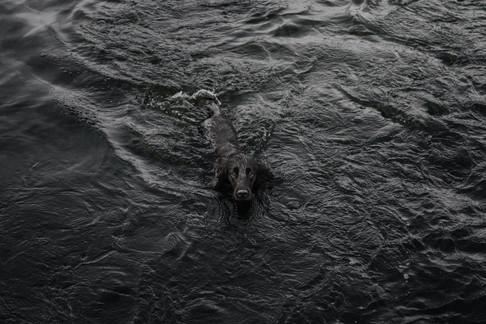 Cocker Spaniel Swimming in Cartmel