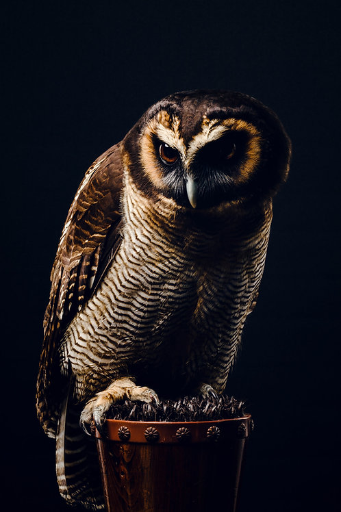 Pet Photography of birds of prey, Wood Owl, Fine art print